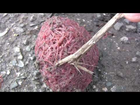 Kapag worm maysakit na pumunta sa banyo sa isang malaking