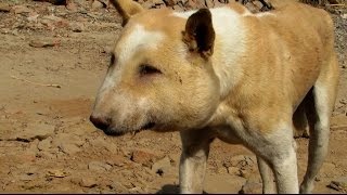 Street dog suffering from huge abscess saved!