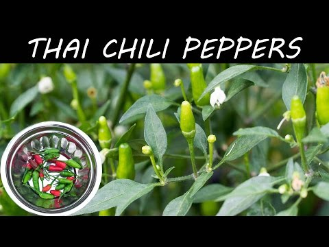 , title : 'Growing Hot Thai Chili Peppers In Container - in 4K