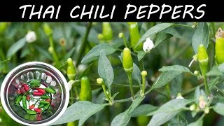 Growing Hot Thai Chili Peppers In Container - in 4K