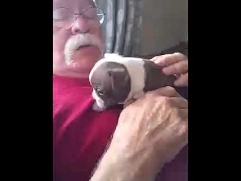 Beautiful Silvery Red Boston Terrier puppy