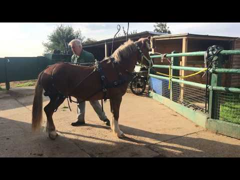 , title : 'A simple way to harness a horse - how to put harness on - Barry Hook, Horse Drawn Promotions