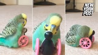 This horny parakeet found love with a plastic penguin | New York Post