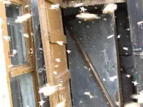 Пчелиный рой. Тисуль 2011г.