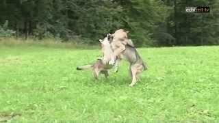preview picture of video 'Sebastian die Jurte und sein Wolfshund (Trailer)'