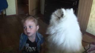 Смотреть онлайн Игривая собака породы самоед целует ребенка
