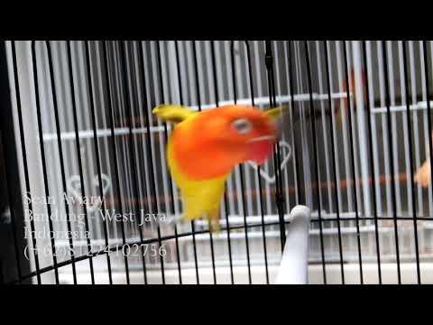 mp4 Lovebird Biola Euwing Split Blue, download Lovebird Biola Euwing Split Blue video klip Lovebird Biola Euwing Split Blue