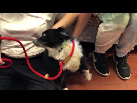 Butchey, an adopted Australian Shepherd in Long Beach, NY_image-1