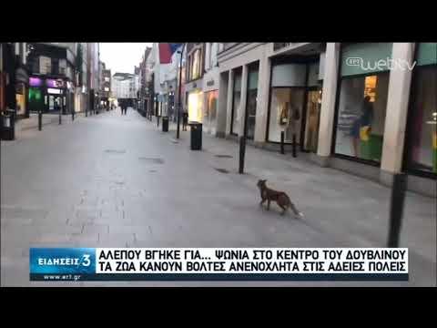 Αλεπουδίτσα βολτάρει ανέμελη στην αγορά του Δουβλίνου! | 29/04/2020 | ΕΡΤ