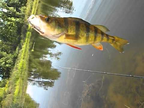 Pond Perch fishing!