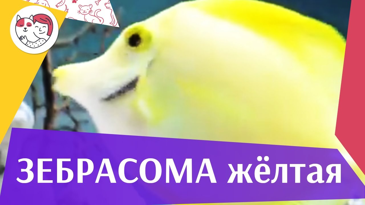Зебрасома желтая Описание на ilikepet