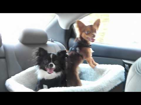 The Chihuahua Boys In Their New Car Seat!