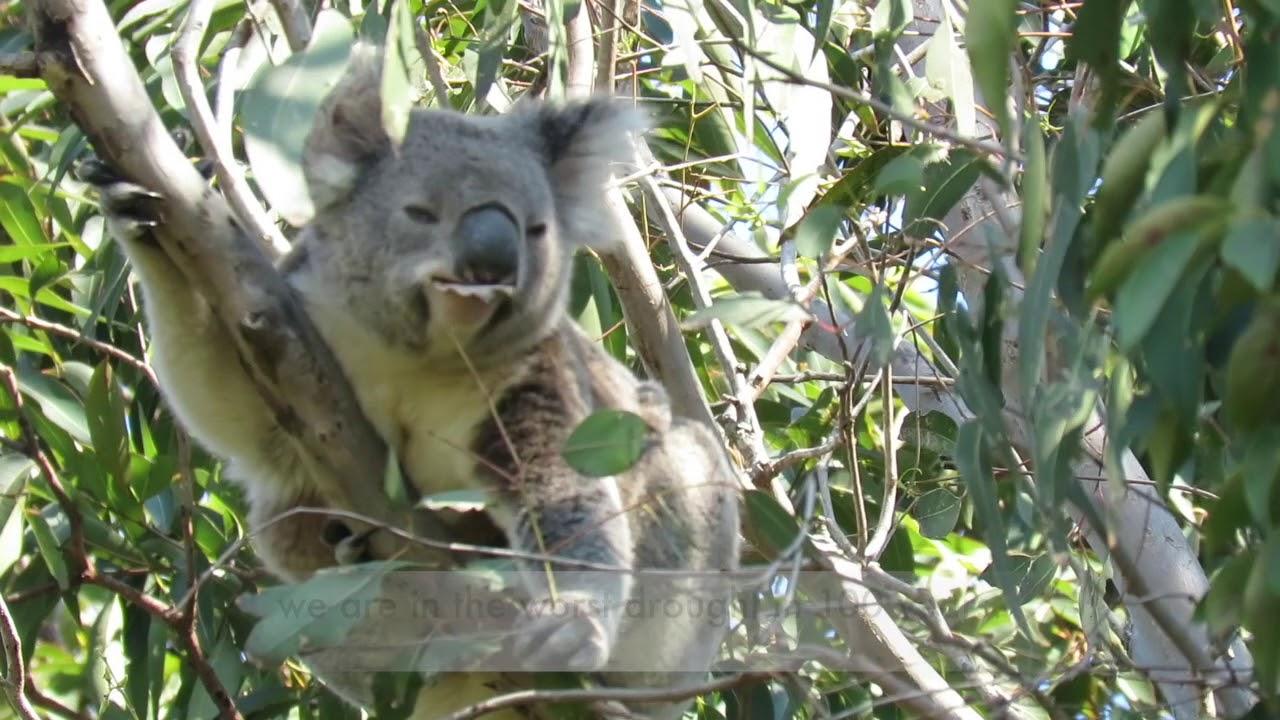 A koala named Winter