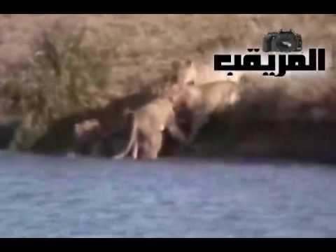 أروع مشهد ستشاهده في حياتك عن الحيوانات البرية – سبحان ربي