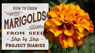 ★ How to Grow Marigolds from Seed (A Complete Step by Step Guide)