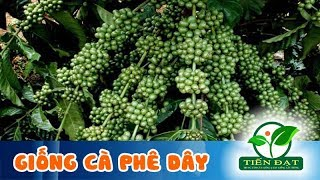 ✅ Giống Cà Phê Dây Thuận An - Giống Cà Phê Mới Tốt Nhất Hiện Nay - 0944333855