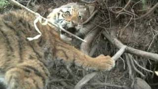 Tiger cub caught in wire snare, Tiger Canyons. Tigers need your help to survive. Share our post.
