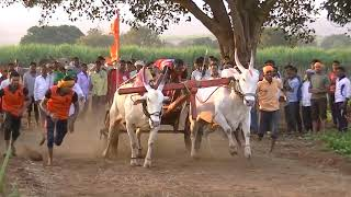 White khillari bulls pulling a cart at a speed of 20 miles per hour