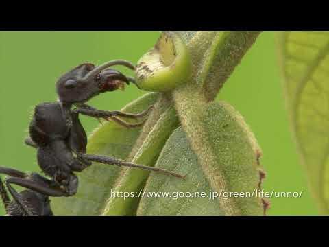 植物の蜜腺から蜜をなめるアリ