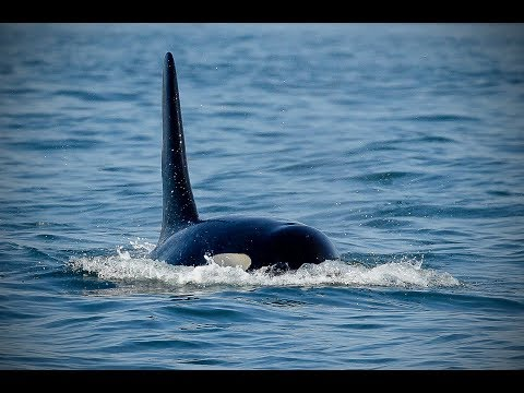 Photographing Killer Whales – Orcas – Wild Photo Adventures