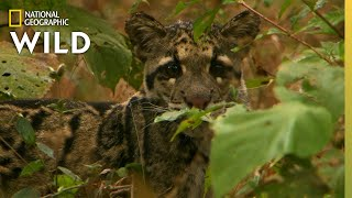 Clouded Leopard Cubs Grow Up | India's Wild Leopards