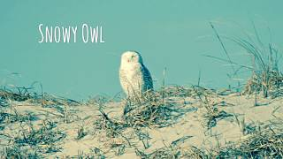 The Search For The Snowy Owl