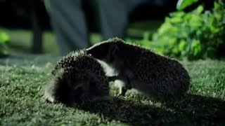 Hedgehog Mating Rituals | Attenborough |  Life of Mammals | BBC