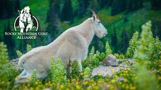 Bridger Range Goat Survey - Rocky Mountain Goat Alliance