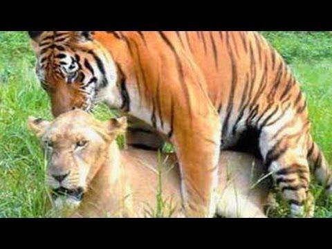Harimau dan Singa Kawin Dengan Pasangan