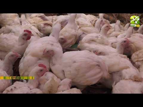 #Reportage au sujet de l'#Alimentation: la #clé de #réussite de l'#élevage du #poulet sur #Agri-#TV.