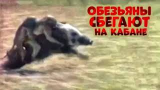 Обезьяны убегают на кабане