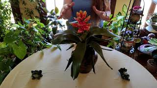 Bromeliad Indoor Care: What to Know