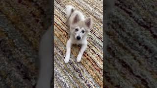 Pomsky Puppies Videos