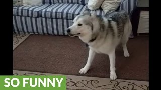 Husky has severe case of the zoomies