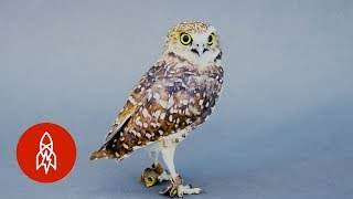 Hello Bright Eyes! Meet the Burrowing Owl