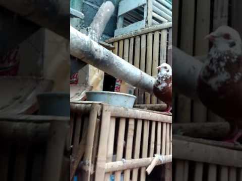 Video Masih blajar ternak merpati