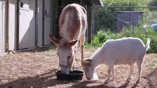 Осел и козел – верные друзья!