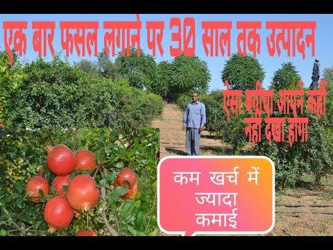 Anar ki kheti  -#plant nursery #7737029292