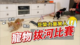 寵物拔河比賽,豆柴力量超驚人『場面超激烈』