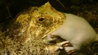 *GRAPHIC*  Pacman Frog Eats Live Mouse. (Ceratophrys Ornata)