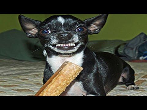Lustige Hunde schützen Knochen - Welpen Verteidigen Lebensmittel Zusammenstellung 2014