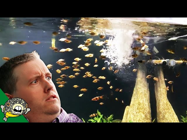 HOW DO YOU ADD 100 FISH TO YOUR AQUARIUM ALL AT ONCE?
