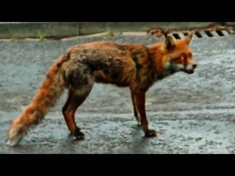 狗狗拯救貓貓免受狐貍的攻擊...