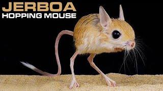 JERBOA   Hopping Desert Rodent, Cute But Deadly!!