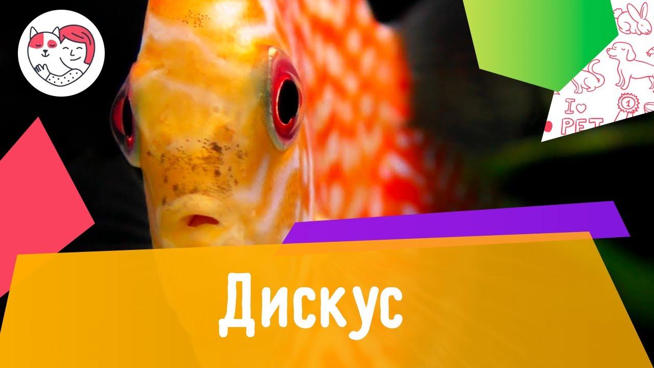 Аквариумная рыбка дискус. Особенности. Уход.