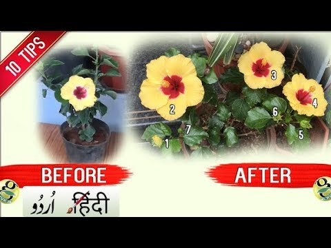 HOW TO GET MORE FLOWERS IN HIBISCUS PLANT: 10 TIPS | Bloom Boost Garden Tips and Tricks - Hindi Urdu