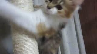みけちゃん、元気になって、キャットタワーで遊ぶ。