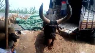 Jayram Bhai Desai S World No 1 Kankrej Bull Zhaloriya At Maheshwari Gousanvardhan Kendra