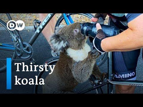 Koala stop fietsryers vir water in Australië se versengende hitte