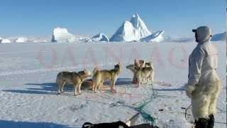 Qaanaaq 2012. The dogs of Thule.